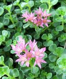 Steppable pink sedum ground cover in Naperville, Illinois