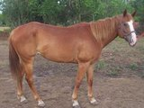 Registered Quarter Horse Mare in Conroe, Texas